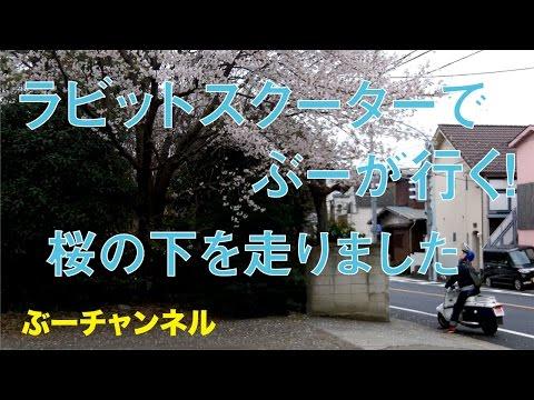 ラビットスクーターでぶーが行く! 桜の下を走りました FUJI RABBIT SCOOTER RUN