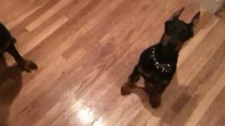 Rottweiler's And Doberman Puppy