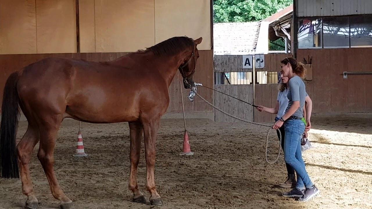 Come Far Sdraiare Un Cavallo.Esercizio Desensibilizzazione Cavallo 20180610