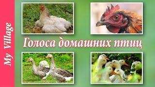 Голоса домашних птиц