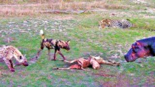 PREGNANT IMPALA vs LEOPARD vs WILD DOGS vs HIPPOS vs HYENA