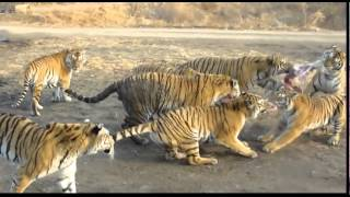 Tigers Eating a goat in China video - STABILIZED