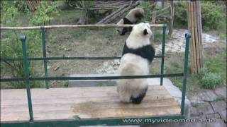 Chengdu Giant Panda - Part2: Panda Youngsters full of energy - China Travel Channel