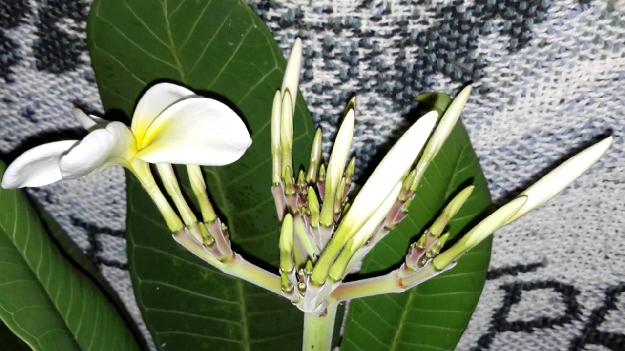 Plumeria Luna Blooming White Flower With Yellow Center Youtube
