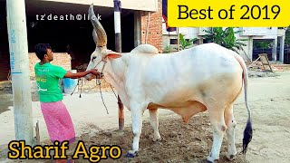 183 | Kankraj Bolod and Sibbi Bulls | One Touch View | All Collection Sharif Agro | ZbGH 2019