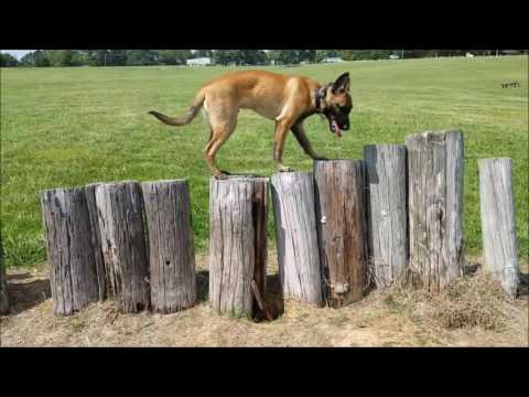 6 month old Belgian Malinois, Dakota! Boarding and Training | Best Dog Training