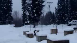 アラスカンハスキー犬が曳く犬ぞりツアー 準備編 フェアバンクス郊外 20...
