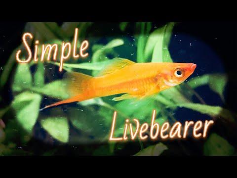 Red Velvet Swordtail Fish (Species Profile)