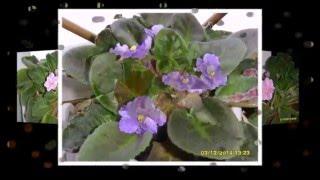 Почему не цветут фиалки?(, 2015-02-02T11:03:05.000Z)