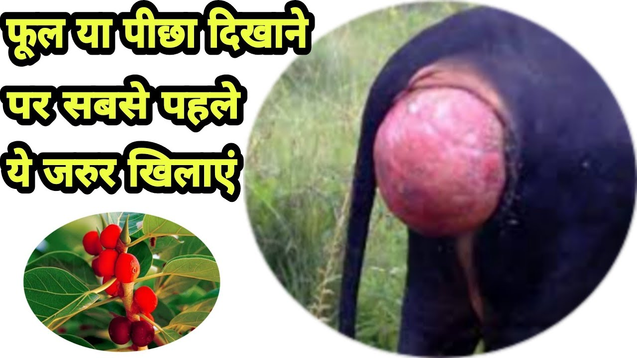 गाय/भैंस मे फूल दिखाना,पीछा दिखाना का ईलाज/Gaay/bhains ka picha dikhana/Prolapse in cow and buffalo