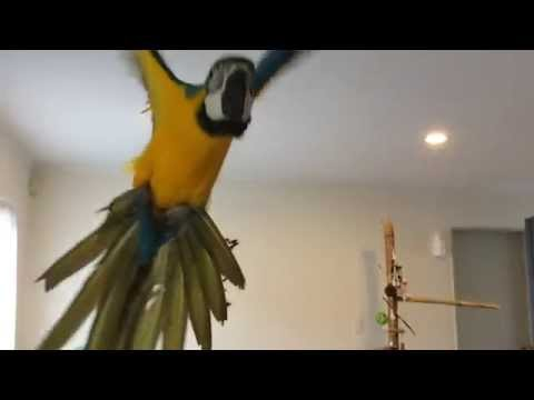 Baby macaw indoor flying lesson