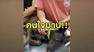สะเทือนใจ! หมาจรจัดถูกคนใจร้ายยิงลูกดอกปืนยิงปลาใส่หน้า ทะลุถึงปอด หมอเผยดูแล้วตั้งใจยิง