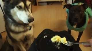 Siberian Husky & Pit Bull Eating Organic Cheese Grits With A Fork