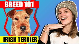 BREED 101 IRISH TERRIER. EVERYTHING YOU NEED TO KNOW ABOUT THE IRISH TERRIER