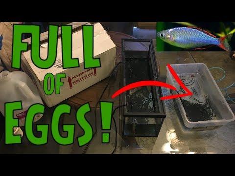 Dwarf Neon Rainbow Fish Eggs - BREEDING PROJECT!!!