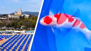 Best In Size   All Japan Young Koi Show 2021