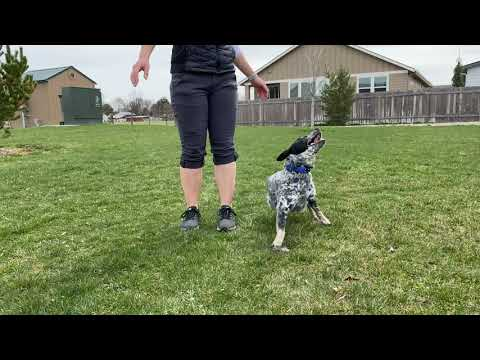 Amazing Dog Tricks by Strider the Cattle Dog