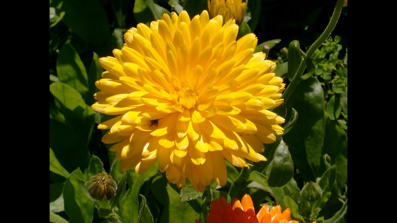 Yellow colour flowers youtube yellow colour flowers dhlflorist Image collections