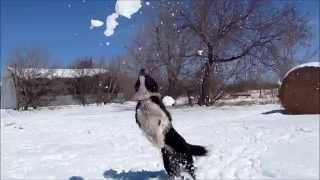 Ollie our Border Collie has fun with snow at the farm.