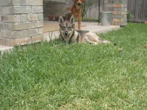 coyote german shepherd coyote dog mix youtube