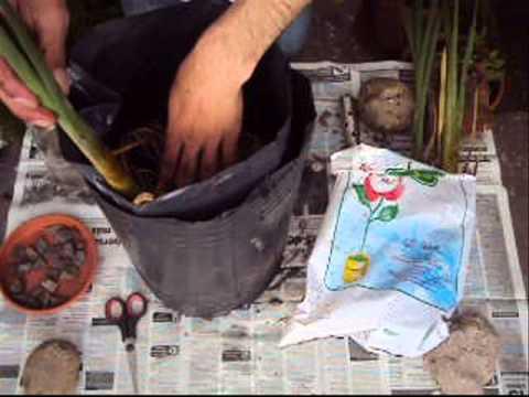 C mo plantar y ubicar las plantas acu ticas en el estanque for Como cultivar tilapia en estanques