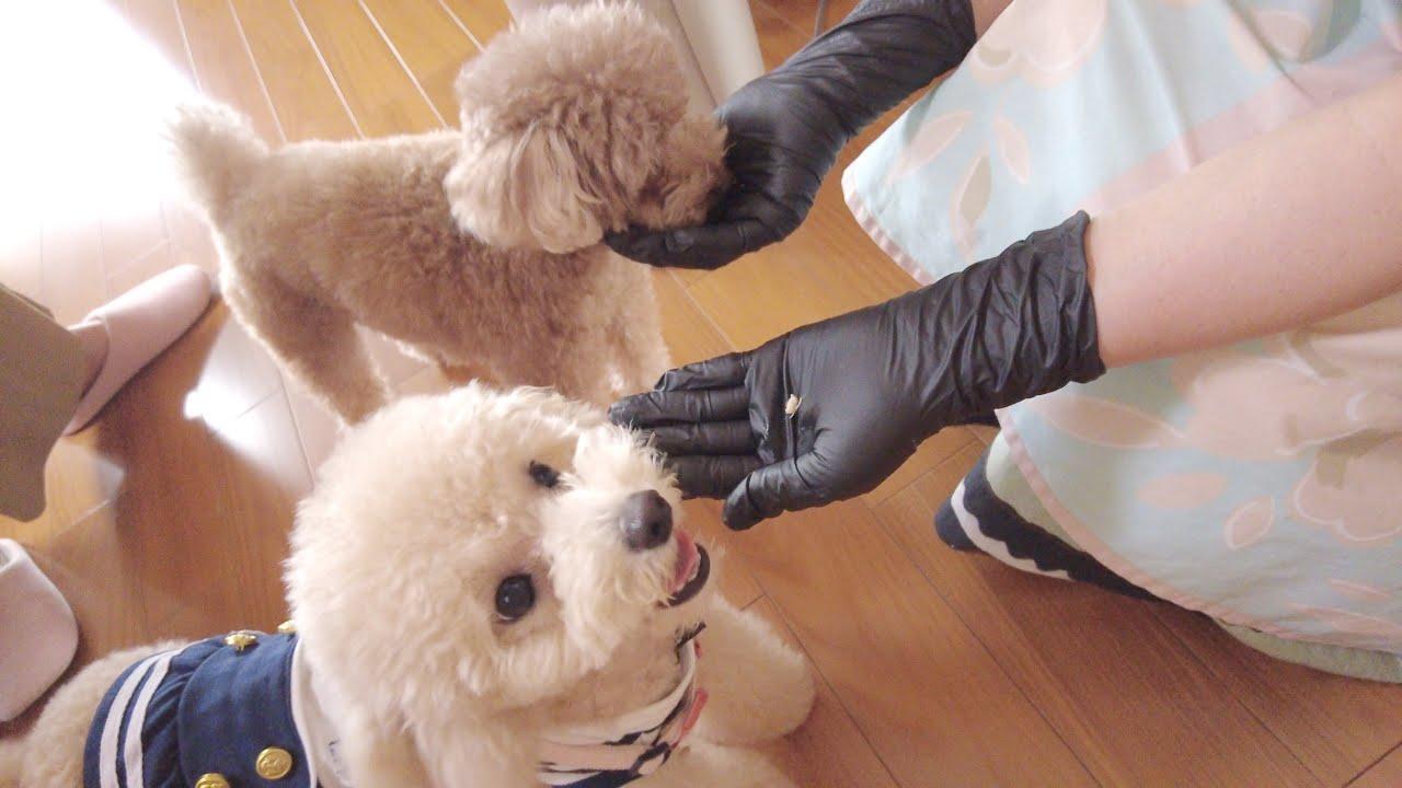 犬嫌いのバァバと子犬がついに初対面しました!【トイプードル】