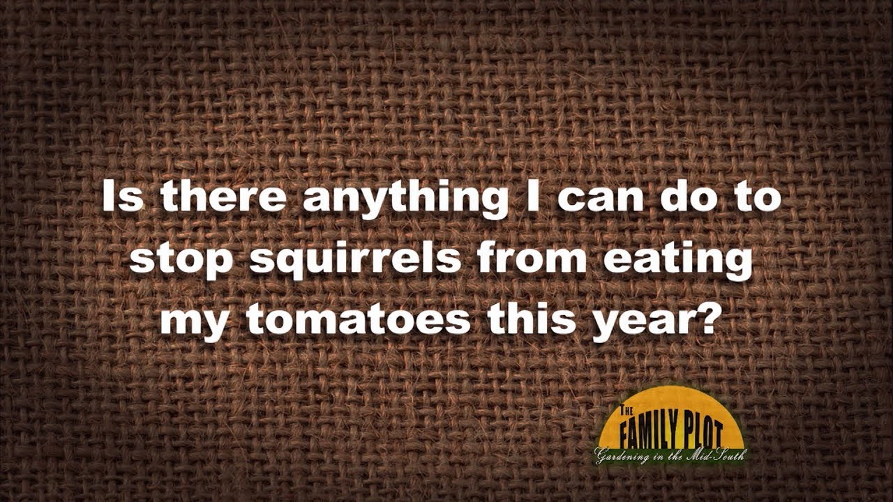 Q A How Do I Keep Squirrels From Eating My Tomatoes Youtube