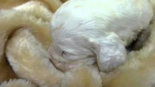 めったに出会えないクランバースパニエルの子犬が産まれました! オス1...