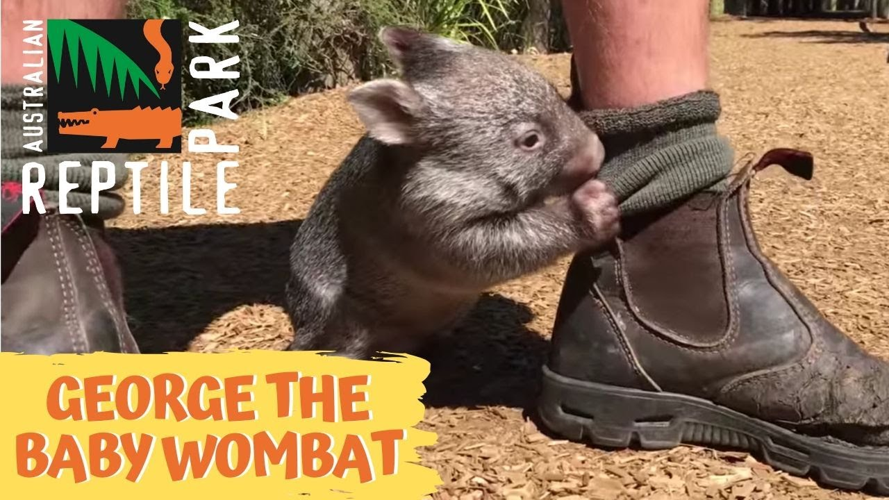 George the baby wombat