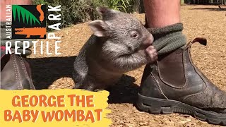 George the baby wombat thumbnail