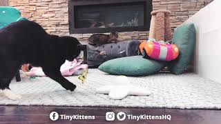 adopt-princess-consuela-tinykittens-com