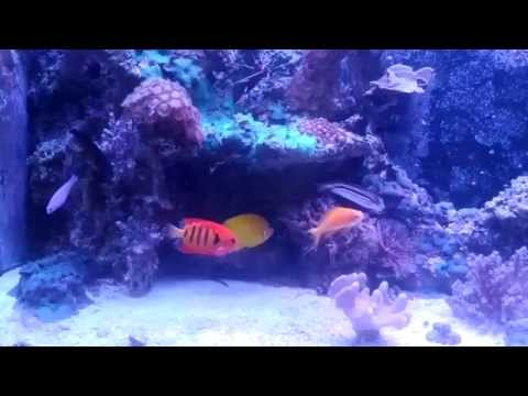 Dwarf Angelfish In Mixed Reef