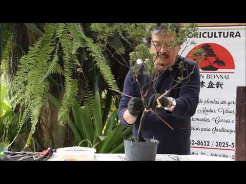 Saiba como aramar um bonsai - Nipon Bonsai