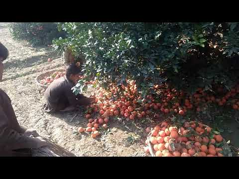 Pakistani Orange ready for Export | Layyah ka Malta | Garden