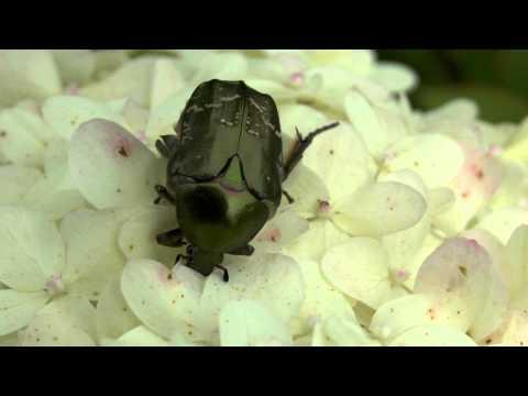 Großer Rosenkäfer. Goldkäfer. Rose Gold Bug Beetle. Protaetia aeruginosa.