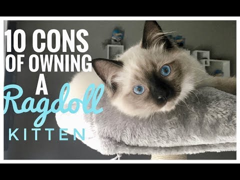 THE CONS OF OWNING A RAGDOLL KITTEN / CAT