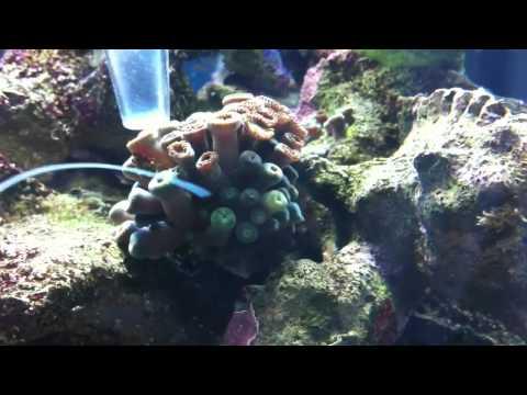 Removing Aquarium Reef Bugs (Nudibranch slugs)