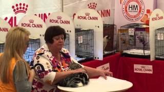 Британский гладкошерстный кот. Черепаховый окрас. Выставка кошек 12-13.09.2015.