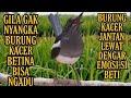 Gila Kicauan Burung Kacer Betina Bikin Emosi Si Jantan  Mp3 - Mp4 Download