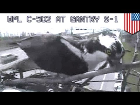 Osprey builds nest in front of Chesapeake Bay Bridge traffic camera,  refuses to be evicted