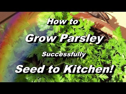 How to Grow Parsley - Complete Video to Seed, Feeding, Pest & Disease, Harvest, Storing