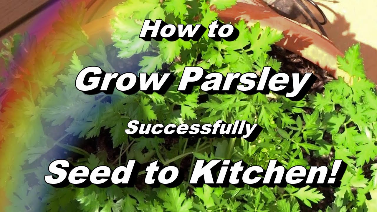 How To Grow Parsley Complete Video Seed Feeding Pest Disease Harvest Storing
