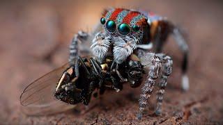 Маленький и милый, но очень опасный хищник своего мира - ПАУК-СКАКУН В ДЕЛЕ! смотреть онлайн в хорошем качестве - VIDEOOO