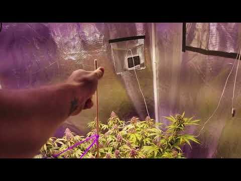 Day 84 auto Sensi Skunk Perfect Sun LED grow journal