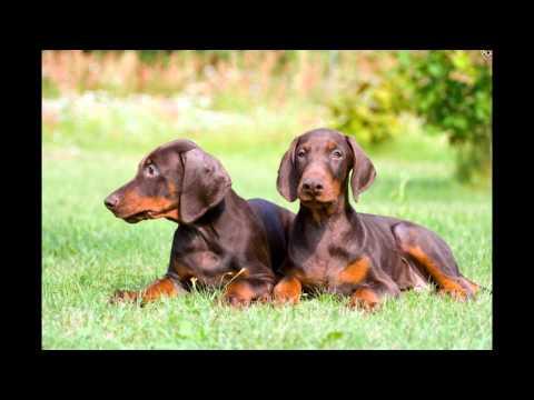 Доберман   Пинчер/Doberman Pinscher (порода собак HD slide show)!