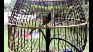 Repeat youtube video นกบินหลาดง 6 เดือน จัดเต็ม(bank binlarsichon).mp4