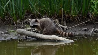 Raccoon at Forest Lake | Stock Footage - Videohive
