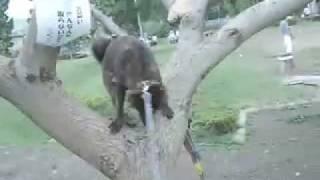 世界で2種類居ると言われている木登り出来る犬、その一つの種類が日本...