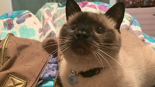 Siamese Cat Loves Bags
