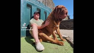 Dogue de Bordeaux  Puppy v Adult ♥
